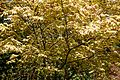 Acer palmatum, palmate maple leaves, at Myddelton House, Enfield, London.jpg