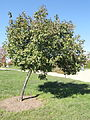 Acer tataricum - University of Kentucky Arboretum - DSC09316.JPG