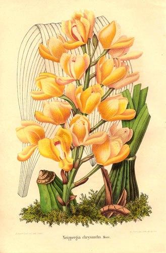 Acineta chrysantha (1849)