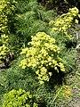 Aciphylla dieffenbachii kz05.jpg