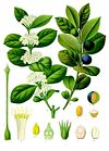 Acokanthera schimperi - Köhler–s Medizinal-Pflanzen-150.jpg