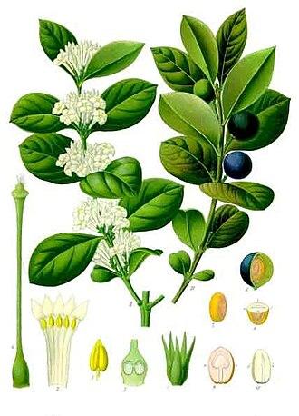 Ouabain - Acokanthera schimperi plant.