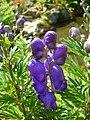 Aconitum napellus inflorescence (28).jpg