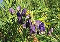 Aconitum napellus inflorescence (39).jpg