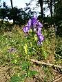 Aconitum variegatum subsp. variegatum sl48.jpg