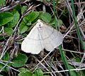 Adactylotis gesticularia. Geometridae - Flickr - gailhampshire (3).jpg