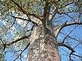 Adansonia digitata tronc MHNT.jpg