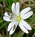 Adela rufimitrella on Stichwort - Flickr - gailhampshire.jpg