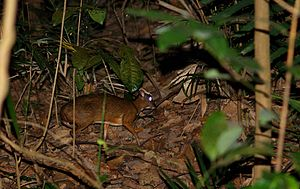 Lesser mouse-deer - Adult Lesser Mouse Deer from Singapore