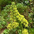 Aeonium cuneatum Tenerife 2.jpg