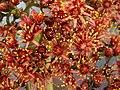 Aeonium nobile PICT3761.jpg