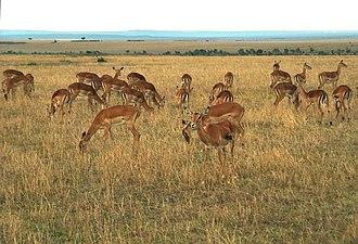 Impala - A herd grazing in Maasai Mara