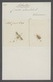 Aethalion - Print - Iconographia Zoologica - Special Collections University of Amsterdam - UBAINV0274 042 05 0004.tif