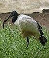 African Sacred Ibis - Threskiornis aethiopicus - Heiliger Ibis - Ibis sacré - 02.jpg