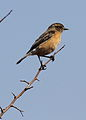 African Stonechat, Saxicola torquatus -- female -- at Rietvlei Nature Reserve, South Africa (14570117768).jpg