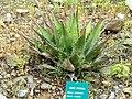 Agave montana - Jardin d'oiseaux tropicaux - DSC04885.JPG