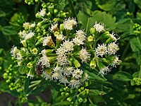 List of plants used in herbalism - Wikipedia