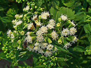 Ageratina altissima - Inflorescences