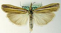 Agriphila deliella.jpg