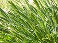 Agropyron cristatum (3821401945).jpg