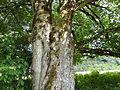 Ahornbäume BurgKaprun 01.JPG