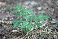 Ailanthus altissima - Kiselo drvo (3).jpg