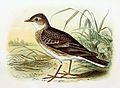 Alauda arvensis 1869.jpg