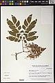 Albizia zygia-NMNH-12889907.jpg