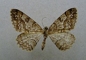 Mottled beauty - Mounted female