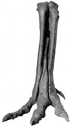 Alectrosaurus - Right hind foot of Alectrosaurus olseni. No. 6368, A.M.N.H.