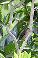 Allenia fusca in Coulibistrie-a06.jpg