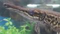 Alligator gar (Atractosteus spatula).png