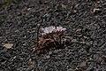 Allium crenulatum 5640.JPG