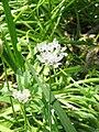 Allium neapolitanum01.jpg
