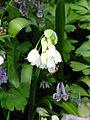 Allium paradoxum 03.JPG