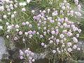 Allium schoenoprasum PM14.JPG