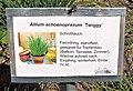 Allium schoenoprasum Twiggy.jpg