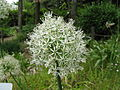 Allium stipitatum 'Mt Everest'2.jpg