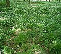Allium ursinum7 ies.jpg