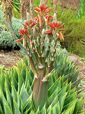 Aloe polyphylla 3