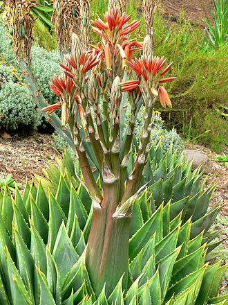 Aloe polyphylla - Image: Aloe polyphylla 3