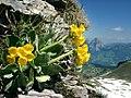Alpenprimeln auf dem Grat zwischen Fronalpstock und Klingenstock.jpg