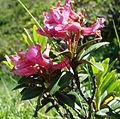 Alpenrose Closeup.jpg