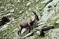 Alpes-Maritimes Saint-Martin-Vesubie Baisse Du Lac Autier Bouquetin 071990 - panoramio.jpg