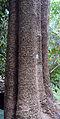 Alstonia scholaris bark.jpg