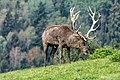 Altenfelden Rothirsch Cervus elaphus-2099.jpg