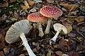Amanita muscaria (1) (30534356533).jpg