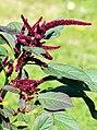 Amaranthus hypochondriacus Prague 2011 3.jpg