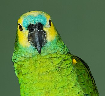 Blue-fronted Amazon, also called the Turquoise...