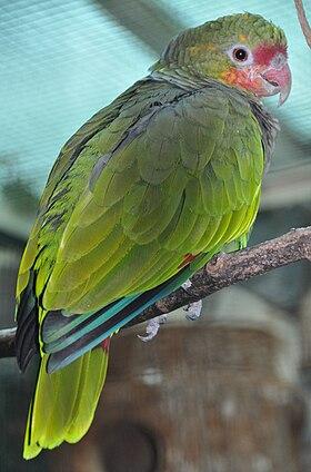 Amazona vinacea no Parque de Pássaros Walsrode, na Alemanha